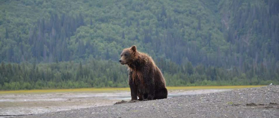 Oso grizzly o pardo, en el parque nacional de Katmai, Alaska