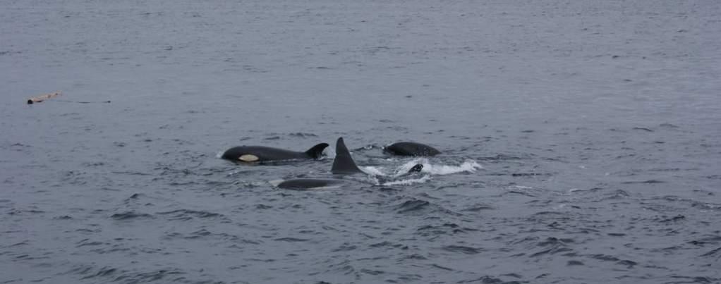 Orcas en estrecho de Johnston, norte de la isla de Vancouver, oeste de Canada